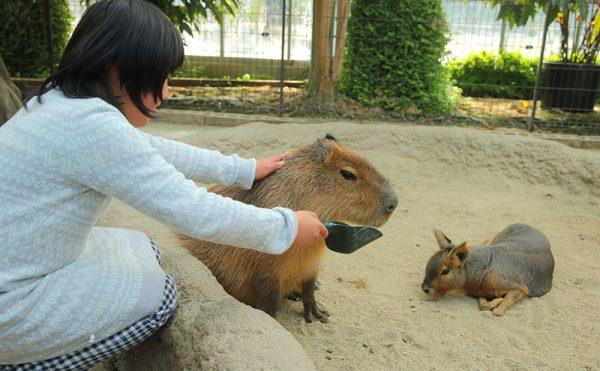 kapibara_fureai_doubutuoukoku_3