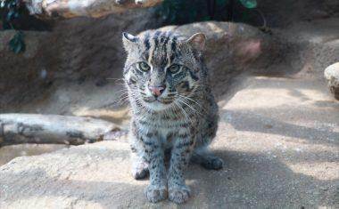 神戸どうぶつ王国の仲間 Fishing Cat