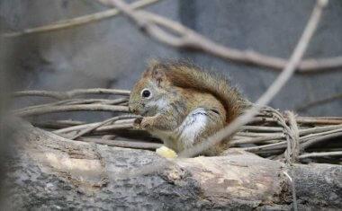 神戸どうぶつ王国の仲間 American Red Squirrel