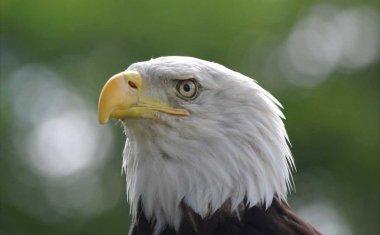 神戸どうぶつ王国の仲間 Bald Eagle