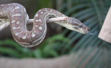 神戸どうぶつ王国の仲間 Centralian Python