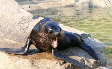 神戸どうぶつ王国の仲間 Fur Seal