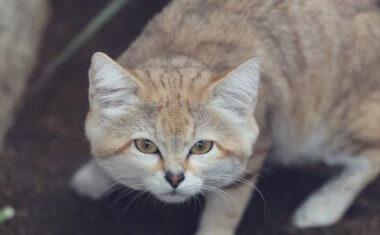 神戸どうぶつ王国の仲間 Sand cat
