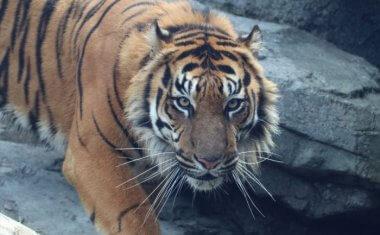 神戸どうぶつ王国の仲間 Sumatran Tiger
